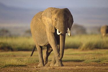 African Elephant (Loxodonta africana) walking towards camera, sub-Sahara, east Africa  -  Gerry Ellis