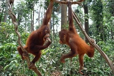 Orangutan (Pongo pygmaeus) pair playing in trees, Borneo  -  Gerry Ellis