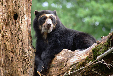 Spectacled Bear (Tremarctos ornatus) in tree, South America  -  Gerry Ellis