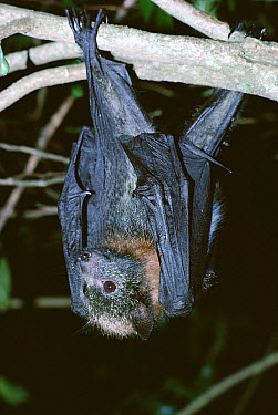 Gray-headed Flying Fox (Pteropus poliocephalus) hanging from tree, night time, eastern woodlands, Australia  -  Gerry Ellis