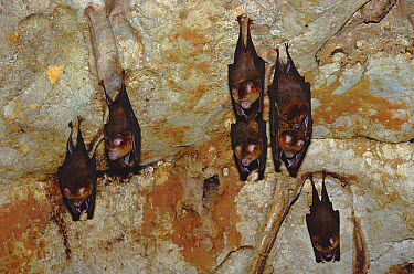 Intermediate Roundleaf Bat (Hipposideros larvatus) hanging from cave ceiling, Taman Negara National Park, Malaysia  -  Gerry Ellis