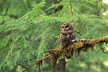 Northern Spotted Owl (Strix occidentalis caurina) on moss covered branch in temperate rainforest, Pacific Northwest, North America  -  Gerry Ellis