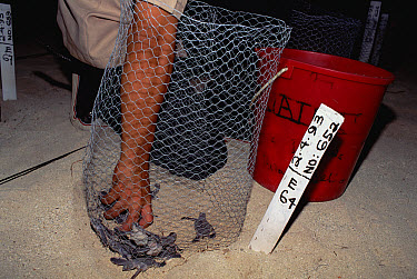 Green Sea Turtle (Chelonia mydas) hatchlings being released from captive breeding program, South Pacific  -  Gerry Ellis
