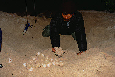 Green Sea Turtle (Chelonia mydas) eggs being retrieved by ranger in preparation for incubation, South Pacific  -  Gerry Ellis
