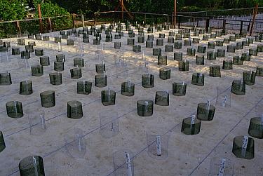 Green Sea Turtle (Chelonia mydas) egg incubation station, Turtle Island, Borneo  -  Gerry Ellis
