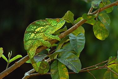 Parson's Chameleon (Calumma parsonii) female, eastern rainforest, Madagascar  -  Gerry Ellis