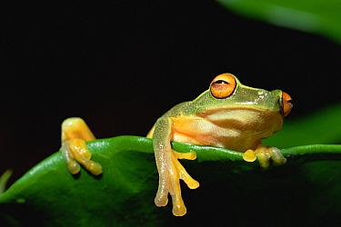 Australasian Tree Frog (Litoria sp) hanging over edge of leaf, Papua New Guinea  -  Gerry Ellis