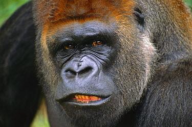 Western Lowland Gorilla (Gorilla gorilla gorilla) silverback male, equatorial Africa