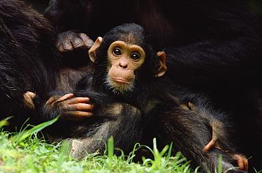 Chimpanzee (Pan troglodytes) mom, baby, Gombe Stream National Park, Tanzania  -  Gerry Ellis