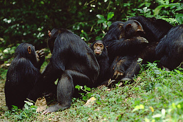 Chimpanzee (Pan troglodytes) grooming, train, Gombe Stream National Park, Tanzania  -  Gerry Ellis