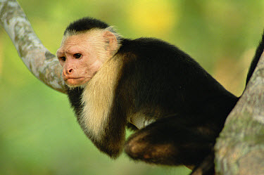 White-faced Capuchin (Cebus capucinus) monkey, Corcovado National Park, Costa Rica  -  Gerry Ellis