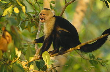 White-faced Capuchin (Cebus capucinus) monkey calling, Corcovado National Park, Costa Rica  -  Gerry Ellis