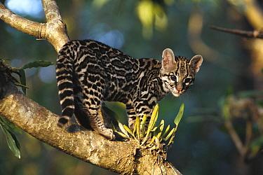 Margay (Leopardus wiedii) wild kitten, captive orphan, Costa Rica  -  Gerry Ellis
