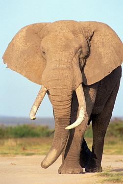 African Elephant (Loxodonta africana) bull, Amboseli National Park, Kenya  -  Gerry Ellis