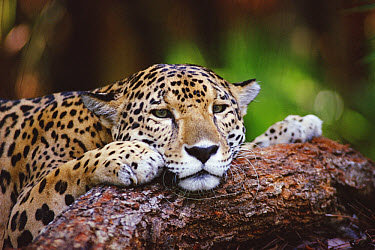 Jaguar (Panthera onca) portrait, Belize Zoo, Belize  -  Gerry Ellis