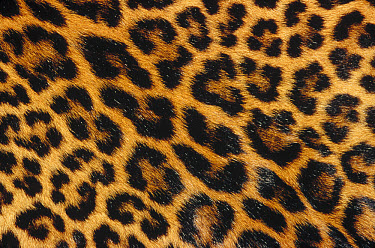 Jaguar (Panthera onca) skin  -  Gerry Ellis
