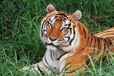 Bengal Tiger (Panthera tigris tigris) portrait, Hilo Zoo, Hawaii  -  Gerry Ellis