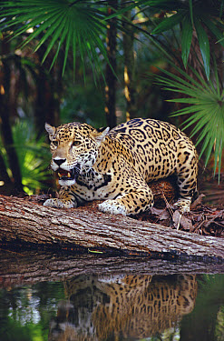 Jaguar (Panthera onca), Belize Zoo, Belize  -  Gerry Ellis