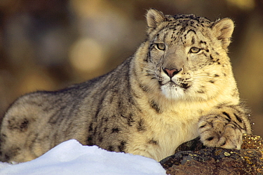 Snow Leopard (Uncia uncia) juvenile, Asia