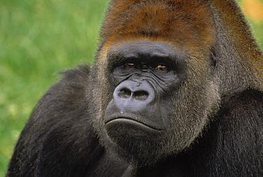 Western Lowland Gorilla (Gorilla gorilla gorilla) silverback male portrait, Africa  -  Gerry Ellis