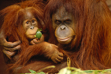 Orangutan (Pongo pygmaeus) mother and baby, Borneo  -  Gerry Ellis