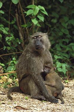 Olive Baboon (Papio anubis) female nursing infant, Gombe Stream National Park, Tanzania  -  Gerry Ellis