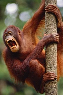 Orangutan (Pongo pygmaeus) hanging on tree, Sepilok Forest Reserve, Sabah, Borneo  -  Gerry Ellis