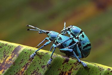 True Weevil (Curculionidae) pair mating, Kikori Delta, Papua New Guinea  -  Gerry Ellis