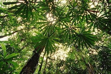 Lowland tropical rainforest Fan Palms in canopy, Omo area, Papua New Guinea  -  Gerry Ellis