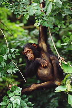 Chimpanzee (Pan troglodytes) swinging in, tree, Gombe Stream National Park, Tanzania  -  Gerry Ellis