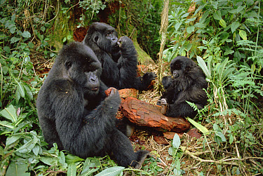Mountain Gorilla (Gorilla gorilla beringei) group eating, Virunga Mountains  -  Gerry Ellis