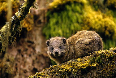 Eastern Tree Hyrax (Dendrohyrax arboreus) in Hagenia Tree (Hagenia abyssinica), Virunga Mountain, Rwanda  -  Gerry Ellis