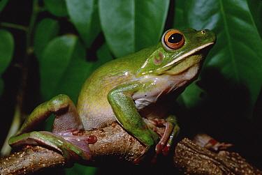 White-lipped Tree Frog (Litoria infrafrenata) new guinea to northeast Australia  -  Gerry Ellis