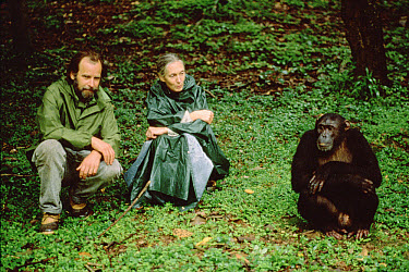 Chimpanzee (Pan troglodytes) with Doctor Jane Goodall and Dale Peterson, Gombe Stream National Park, Tanzania  -  Gerry Ellis