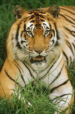 Bengal Tiger (Panthera tigris tigris) portrait, Hilo Zoo, Hawaii, native to India and southeast Asia  -  Gerry Ellis