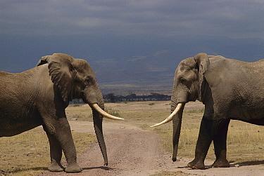 African Elephant (Loxodonta africana) bulls greeting ritual, Amboseli National Park, Kenya  -  Gerry Ellis