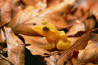 Solomon Island Leaf Frog (Ceratobatrachus guentheri), Woodland Park Zoo, Washington  -  Gerry Ellis