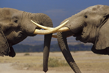 African Elephant (Loxodonta africana) bulls engaged in greeting ritual, Amboseli National Park, Kenya