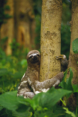 Pale-throated Three-toed Sloth (Bradypus tridactylus) clinging to tree in tropical rainforest, Brazil  -  Gerry Ellis