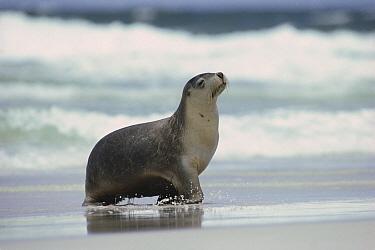 Australian Sea Lion (Neophoca cinerea) female coming ashore, Kangaroo Island, Australia