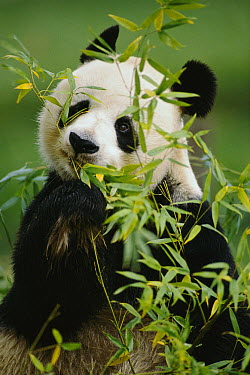 Giant Panda (Ailuropoda melanoleuca) eating bamboo, endemic to montane forest of southeast China  -  Gerry Ellis/ Globio