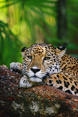 Jaguar (Panthera onca) resting, Belize Zoo, Belize