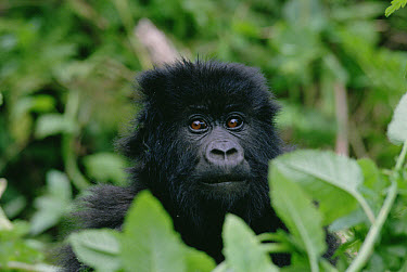 Mountain Gorilla (Gorilla gorilla beringei) juvenile, Virunga Mountains along the border of Rwanda, Uganda, and Democratic Republic of the Congo  -  Gerry Ellis