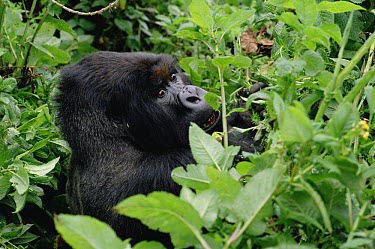 Mountain Gorilla (Gorilla gorilla beringei) male, Virunga Mountains nestled along the northern border of Rwanda, the Democratic Republic of the Congo and Uganda  -  Gerry Ellis