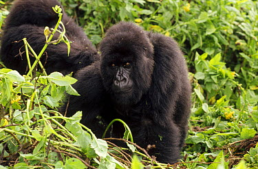 Mountain Gorilla (Gorilla gorilla beringei) female, Virunga Mountains nestled along the northern border of Rwanda, the Democratic Republic of the Congo and Uganda  -  Gerry Ellis