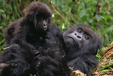 Mountain Gorilla (Gorilla gorilla beringei) mom and baby, Virunga Mountains nestled along the northern border of Rwanda, the Democratic Republic of the Congo and Uganda  -  Gerry Ellis