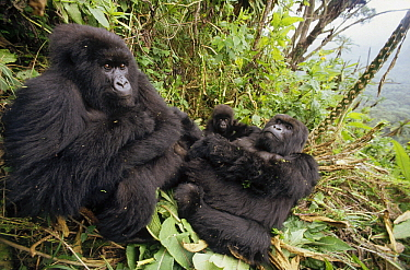 Mountain Gorilla (Gorilla gorilla beringei) family resting in rainforest, Virunga, Rwanda