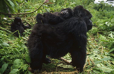 Mountain Gorilla (Gorilla gorilla beringei) baby balancing on mother's back, Virunga Mountains nestled along the northern border of Rwanda, the Democratic Republic of the Congo and Uganda  -  Gerry Ellis