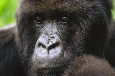 Mountain Gorilla (Gorilla gorilla beringei) female portrait, Virunga Mountains, Rwanda  -  Gerry Ellis