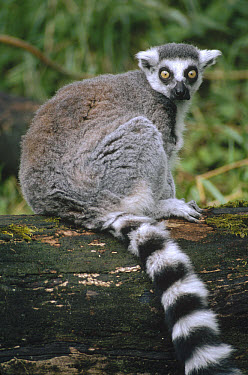 Ring-tailed Lemur (Lemur catta) portrait, Madagascar  -  Gerry Ellis